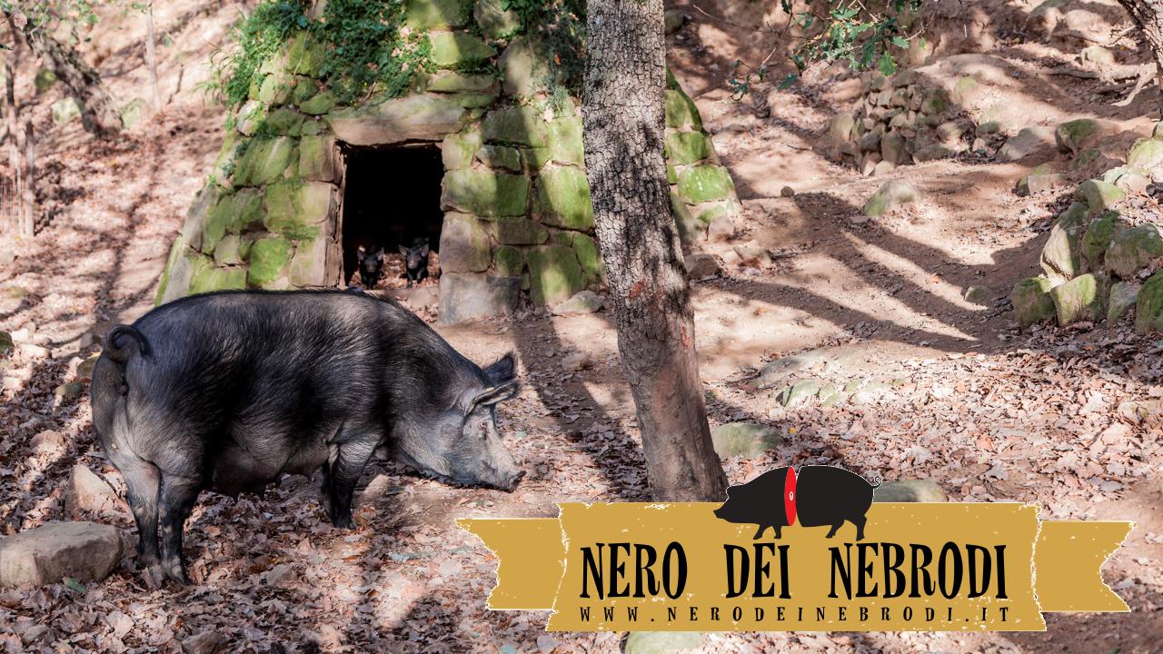 Maiale Nero allevato in piena area